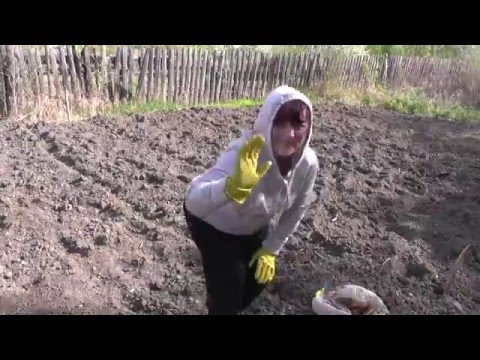 Сажаю фасоль и картофель на своём участке