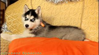 Хаски щенки в питомнике  Крылатки Москва
