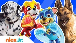 PAW Patrol Mighty Pups Meet Real Dog Heroes 🐶 w/ Chase, Marshall & More! | Nick Jr.