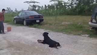 huấn luyện chó nghiệp bảo vệ chủ