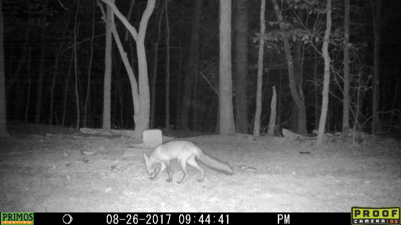 Red Fox, in the backyard. #1 - YouTube