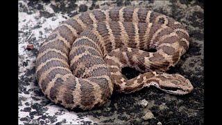 Змея  Укус и последствия