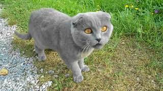 Шотландский кот в деревне
