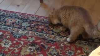 Как визжит лягушка в лапах кота