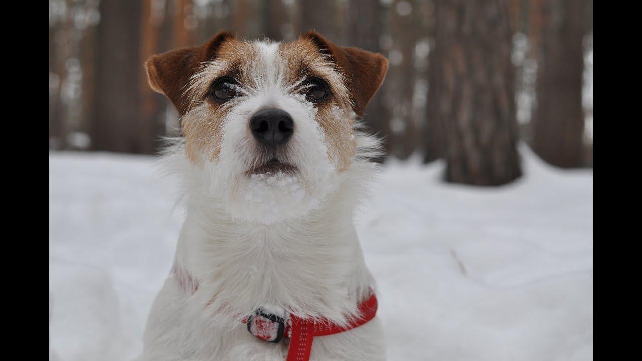 Собака из Маски Джек Рассел терьер прыгает в снегу. Собака ...