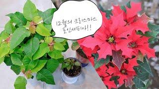 포인세티아!! 12월의 크리스마스, 베란다에서 월동후 …