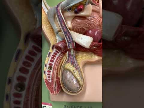 male-reproductive-anatomy-model