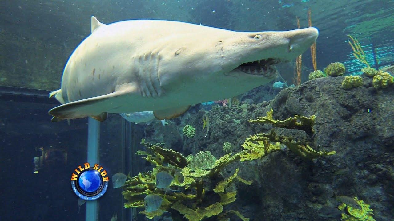 Shark Dive Florida Aquarium As Seen On Florida-TV HD - YouTube