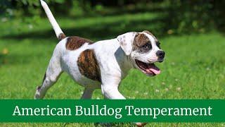 How to Take Care of an American Bulldog    American Bulldog Temperament and Behavior