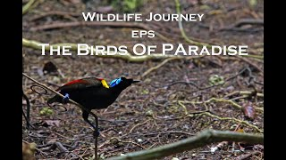 Download Video Wildlife Journey Eps. The Birds Of Paradise MP3 3GP MP4