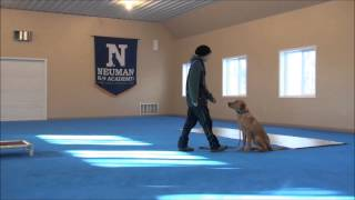 Razor (labrador Retriever) Boot Camp Dog Training Video