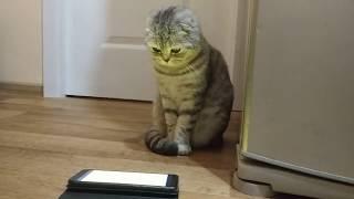 МИЛАЯ КОШКА 🐱  ПРИКОЛЫ С КОШКОЙ ХЛОЯ  МЯУКАНЬЕ КОТЯТ 😻 ШОТЛАНДСКАЯ ВИСЛОУХАЯ 🐱 Scottish Fold Cat