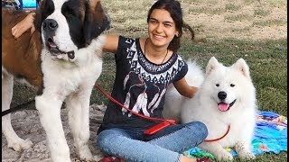 Выставка собак. Самоедская лайка и Сенбернар. Dog show. Samoyed Laika and St. Bernard.