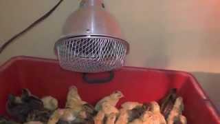 Обогрев перепелов и цыплят сразу после вылупления(, 2015-01-07T05:42:34.000Z)
