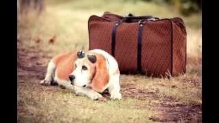 Порода собак-Бигль.