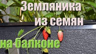 видео Выращивание земляники на подоконнике