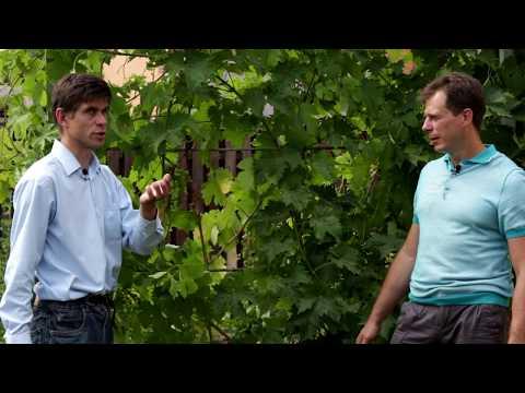 Мучнистая роса на винограде - как бороться? | хозяйство | мучнистая | винограда | виноград | болезни | оидиум | милдью | ложная | умное | роса