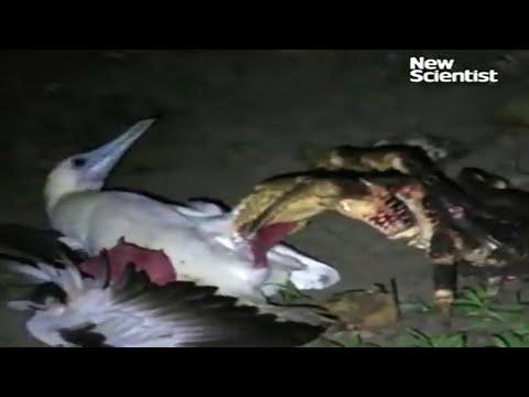 Coconut crab hunts seabird