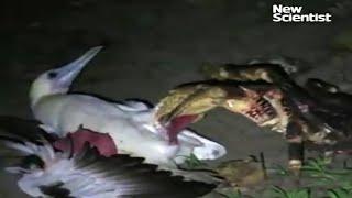 Coconut crab hunts seabird thumbnail
