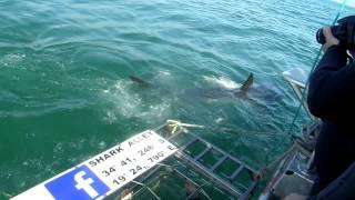 Hai-tauchen Südafrika 2014