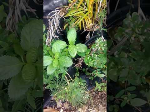 Herb garden of the Caribbean island call antigua