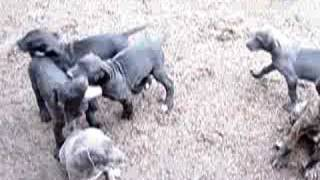 Blue Great Dane Puppies with Black & Brindle pups