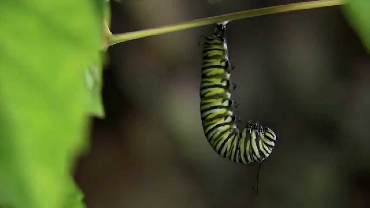 Monarch Caterpillar Changing To Chrysalis Youtube