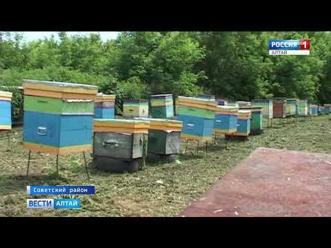 В Алтайском крае зарегистрирована массовая гибель пчёл на 15 пасеках