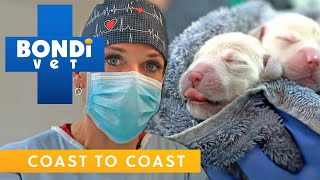 Dog Has Emergency Caesarean To Save Puppies! | Full Clip | Bondi Vet