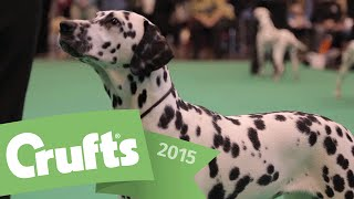 Best Of Breed - Dalmatians And Winner's Interview | Crufts 2015