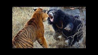 Tiger attacks a sloth bear!!!