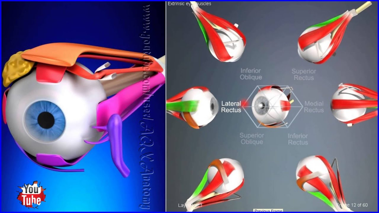 Extraocular Muscles, Movements Extrinsic Eye Muscles | 3D Human ...