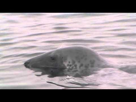 Brixham Seal Eating Fish