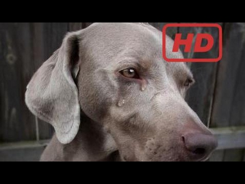 Touching videos - Dogs Crying Dead Owner and Friend►100% People Cry