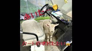 農場のスタッフクロちゃん(ひつじ)は、楽しいことが大好きで、人なつっこい可愛い子。 カートが壊れてイジケテましたが、カート復活!!!...