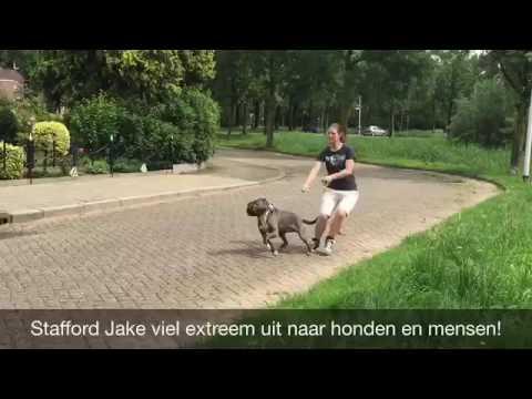 Anniek Winters hondengedragsdeskundige | Agressieve Stafford Jake