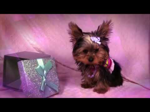 Superstar - Amazing Tiny Yorkie Puppy by PuppyHeaven.com