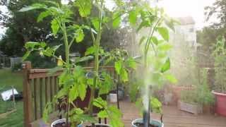 Identifying Aphids on Tomato Plants and Using Soapy Spray - The Rusted Garden 2013