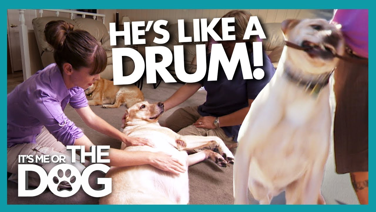Poor Health and No Exercise Make This Dog Drum-Shaped! | It's Me or The Dog