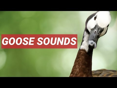 GEESE SOUND IN HIGH QUALITY