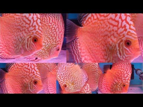 Discus Fish At Pari Aquarium Fish Shop Kurla
