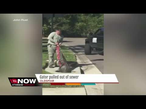 Trapper pulls huge alligator from storm drain in Oldsmar