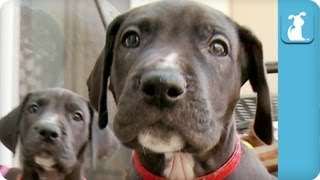 80 Seconds Of Amazing Great Dane Puppies