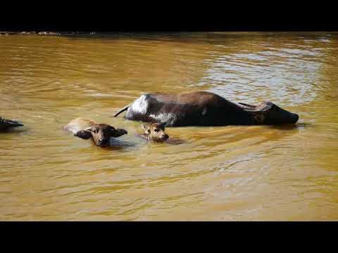 00014 buffalos crossing a canal