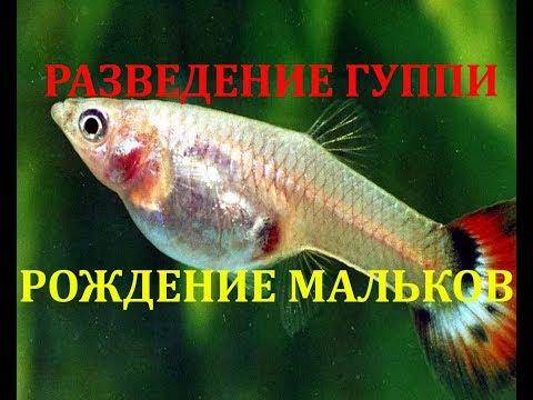 Разведение рыбок гуппи. Рождение мальков гуппи. Размножение гуппи