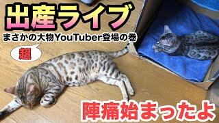 ベンガル猫の妊娠から出産 陣痛が始まりました❗️ まだ微弱陣痛です。いよいよ産まれます。 無事なお産になりますように! チャンネル登録Sub...