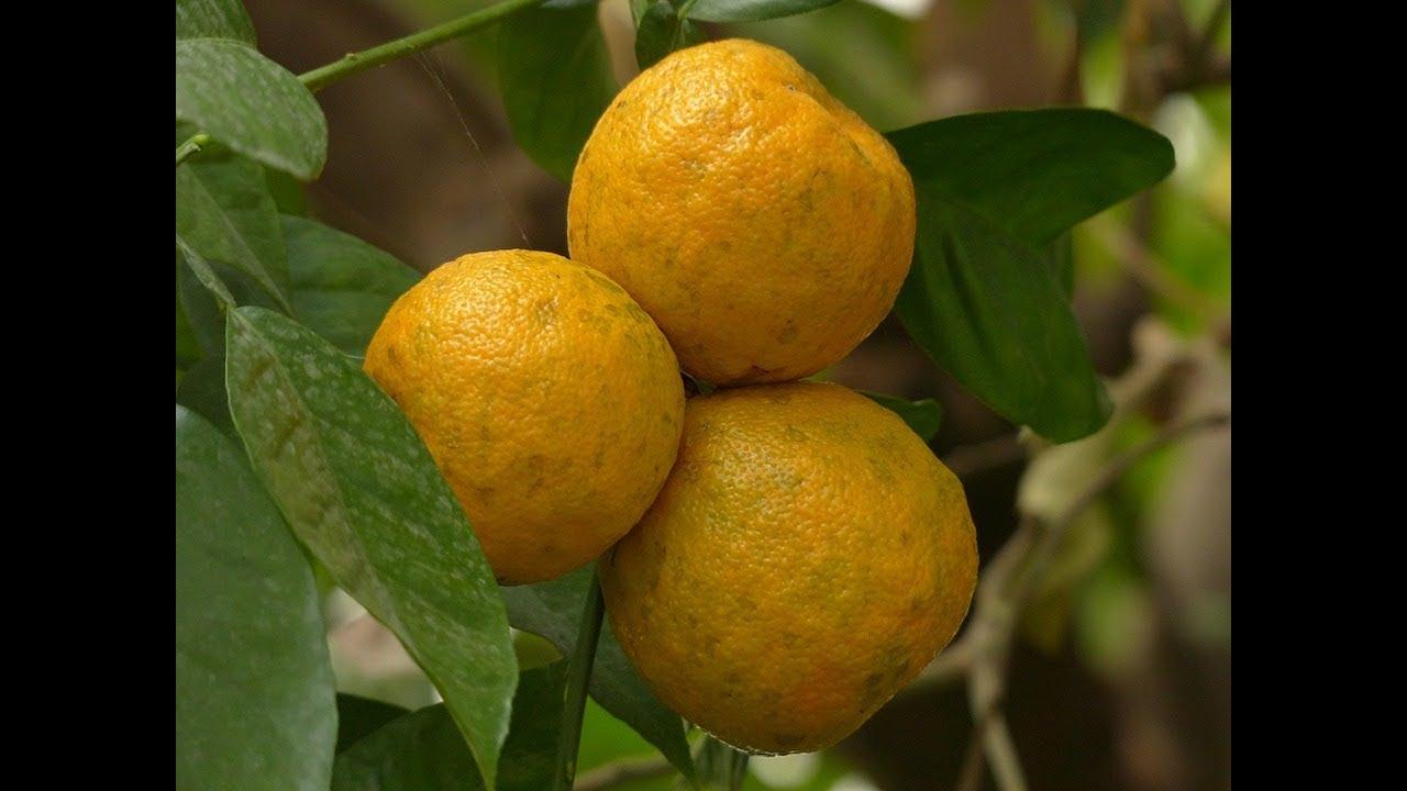 Come coltivare l 39 arancio amaro in vaso youtube for Coltivare more in vaso