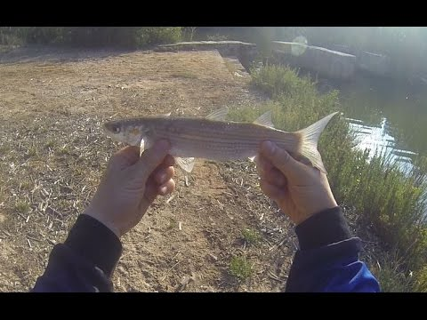 Inshore Mullet Fishing Mallorca With Bread