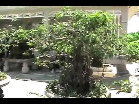 Cây  cảnh đẹp, cây sanh đẹp, cây sanh lâu năm Ngọc Quý  Video 1