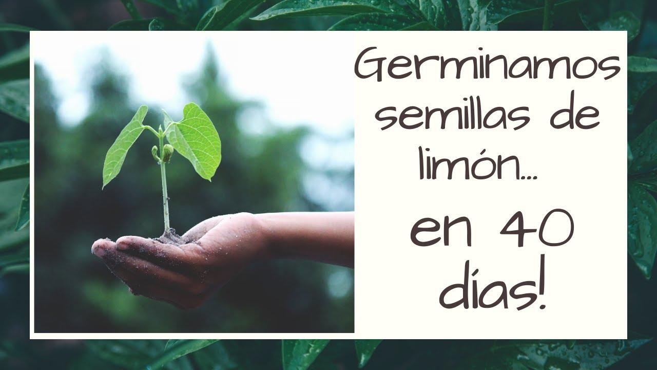 Germinamos semillas de Limón en 40 días